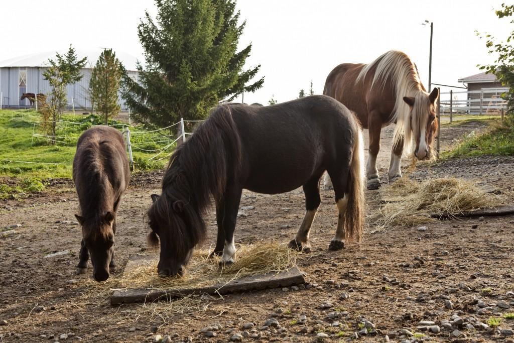 Hevoset ulkotarhassa